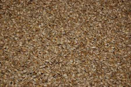 Malting barley drying